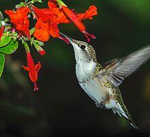 Hummingbird on Salvia by Janice Carter