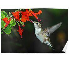 Hummingbird on Salvia Poster