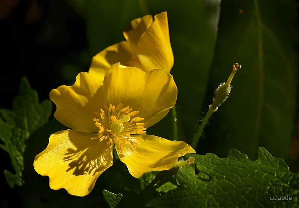 Wood Poppy - April 2013 by cclaude
