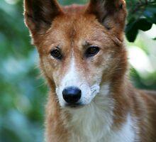 Dingo 1 by Rob Chiarolli