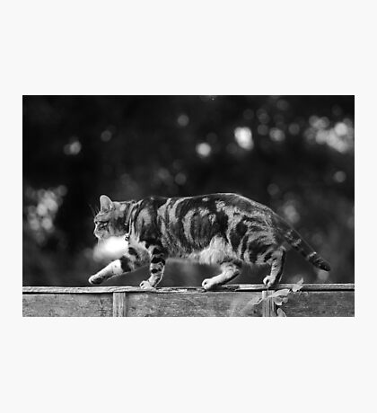Pussy Footing Photographic Print