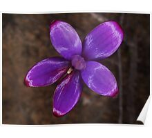 purple enamel orchid Elythranthera brunonis Poster
