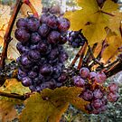 You Are A Beauty ~ Grapes ~ by Charles & Patricia   Harkins ~ Picture Oregon