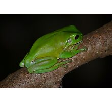 Australian Green Tree Frog Photographic Print