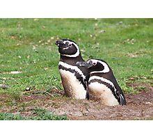 Magellanic Penguin Pair in Their Nesting Burrow Photographic Print