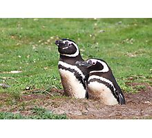 Magellanic Penguin Pair in Their Nesting Burrow Photographic Print