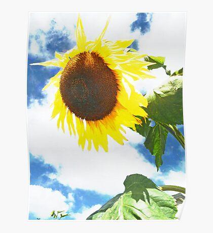 Sun-Flower  Poster