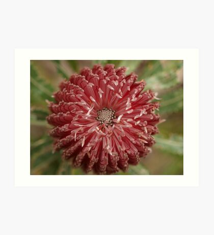 Banksia Menzies  Art Print