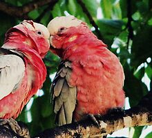 Galahs  by Trish Threlfall