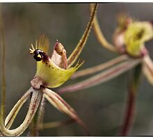 Caladenia falcata by Paul Amyes
