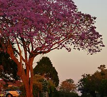 Jacaranda at sunset by PhotosByG