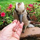 Kookaburra getting a free meal -  by Bev Pascoe