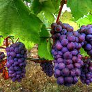 I Be Grape ~ Grapes ~ by Charles & Patricia   Harkins ~ Picture Oregon