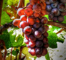 All That Glow ~ Grapes ~ by Charles & Patricia   Harkins ~ Picture Oregon