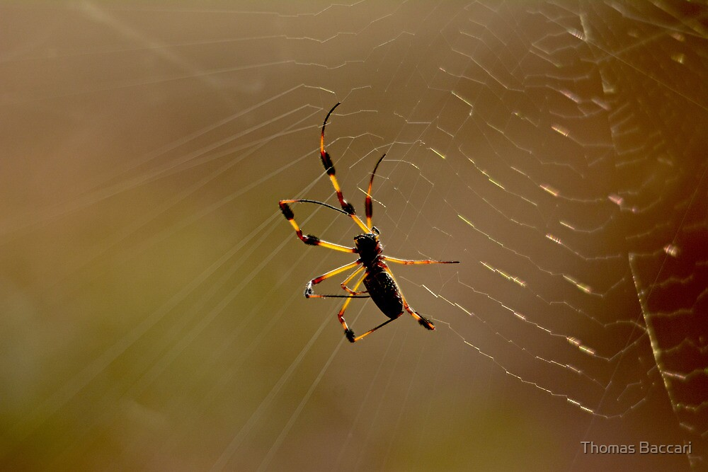 Early am Spider with Web by Photography by TJ Baccari