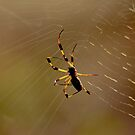 Early am Spider with Web by imagetj