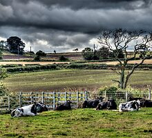 Resting Cattle by Andrew Pounder