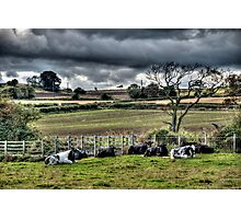 Resting Cattle Photographic Print