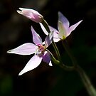 Pink Fairy Orchid 2013 by pennyswork