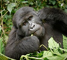 eating mountain gorilla by travel4pictures