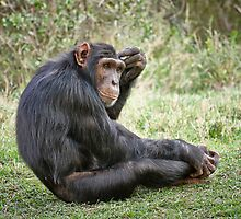 Common Chimpanzee, Pan troglodytes by travel4pictures