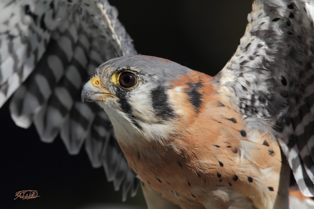 American Kestrel by Todd Weeks