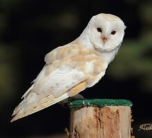 Barn Owl by Todd Weeks