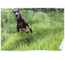 Doberman Running threw tall grass field in ecuador Poster