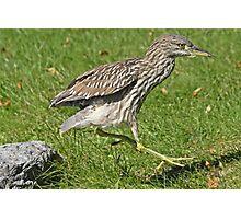 Heron hopscotch Photographic Print