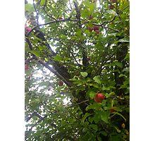 Upstate apple tree Photographic Print