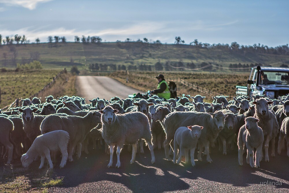 Sheep Crossing II by yolanda