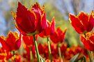 Sunrise Tulip by yolanda