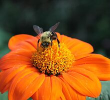 Bee, Mexican Sunflower by Kelly Morris
