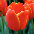 Orange Tulips  by Sammy-Joy