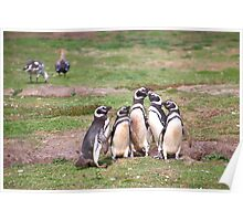 Magellanic Penguins Near Their Nesting Burrows Poster