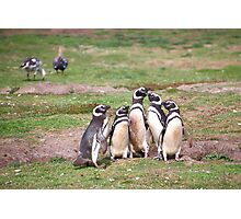Magellanic Penguins Near Their Nesting Burrows Photographic Print