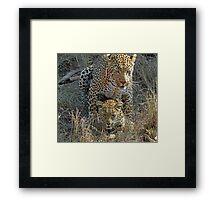 Mating Leopards ! Framed Print