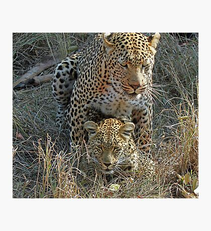 Mating Leopards ! Photographic Print