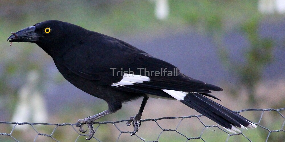 pied currawong  by Trish Threlfall
