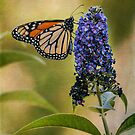 Monarch on butterfly bush by Celeste Mookherjee