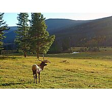 Lone Elk  Photographic Print