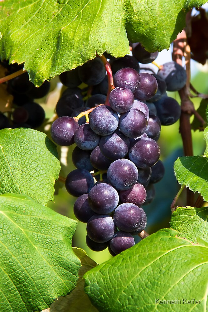 Cluster of Purple Grapes on the Vine by Kenneth Keifer