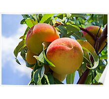 Peaches on the Tree Poster