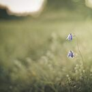 Last bluebell of the season by netza