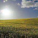 Golden Canola by Tim Coleman