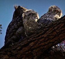 Tawny-Frogmouth chicks in my Jacaranda Tree by myraj