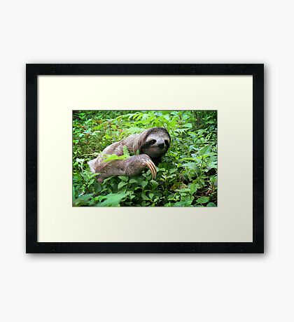 Brown-throated Three-toed Sloth Framed Print