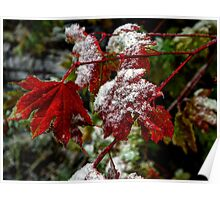 That Frost Me ~ Vine Maple Leaves ~ Poster