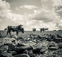 Curious Cows by DanButlerPhoto