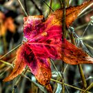 One Red Dude ~ Leaves Fall Colors ~ by Charles & Patricia   Harkins ~ Picture Oregon